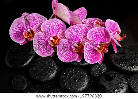 Beautiful spa concept of blooming twig of stripped violet orchid (phalaenopsis ) on the zen stones with drops - stock photo