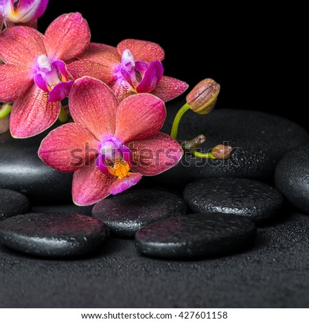 beautiful spa concept of blooming twig red orchid flower, phalaenopsis with water drops on zen basalt stones, close up - stock photo