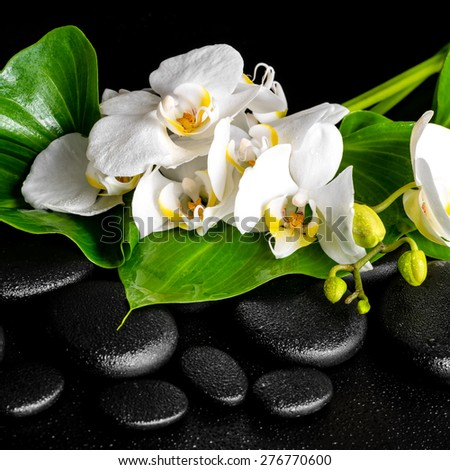 beautiful spa concept of blooming white orchid flower, phalaenopsis, green leaf with dew on black zen stones, closeup - stock photo