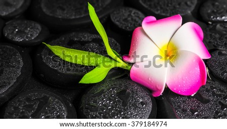 beautiful spa concept of green branch bamboo, plumeria flower with drops on zen basalt stones - stock photo