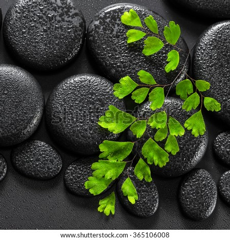 beautiful spa concept of green twig Adiantum fern on zen basalt stones with dew, close up - stock photo