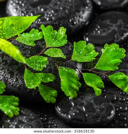 beautiful spa concept of green twig fern on zen basalt stones with dew, close up - stock photo