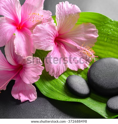 beautiful spa concept of pink hibiscus flowers and zen basalt stones on big green leaf with drops, closeup - stock photo