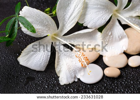 Beautiful spa concept of white hibiscus, twig passionflower, stones with drops on black background - stock photo
