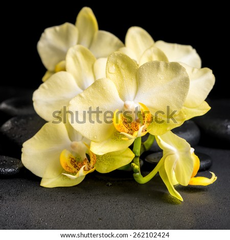 beautiful spa concept of yellow orchid phalaenopsis on black zen stones with drops, closeup  - stock photo