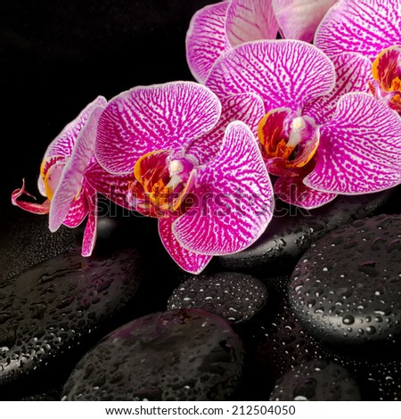 Beautiful spa setting of blooming twig stripped violet orchid (phalaenopsis ) on zen stones with drops, closeup - stock photo