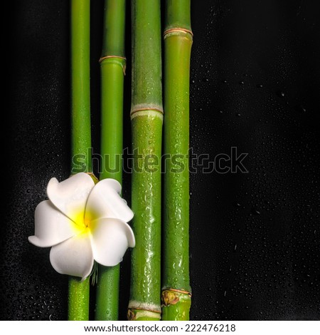 beautiful spa still life of frangipani flower and natural bamboo stems with dew, closeup  - stock photo