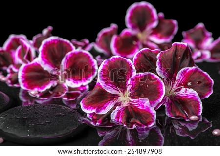beautiful spa still life of geranium flower, beads and black zen stones with drops in reflection water - stock photo