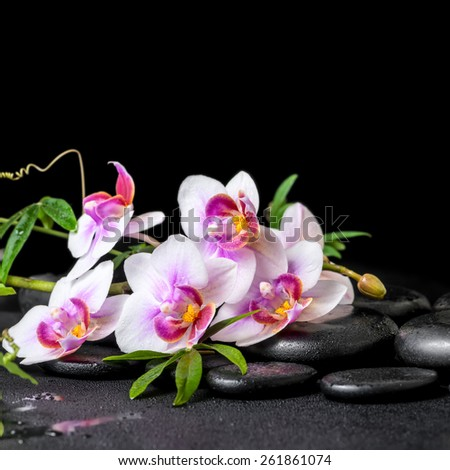 beautiful spa still life of purple orchid phalaenopsis and green branch on black zen stones with drops, closeup   - stock photo