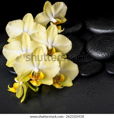 beautiful spa still life of yellow orchid phalaenopsis on black zen stones with drops, closeup  - stock photo