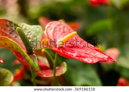 Beautiful spadix or flamingo flower (Anthuriums) in the garden. Natural floral background, shallow depth of field (dof), selective focus - stock photo
