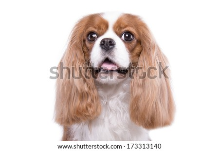 Beautiful spaniel dog. Animal portrait. Stylish photo. White background. Collection of funny animals