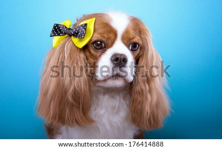 Beautiful spaniel dog with bow-tie. Animal portrait. Spaniel dog in stylish clothes. Blue background. Colorful decorations. Collection of funny animals