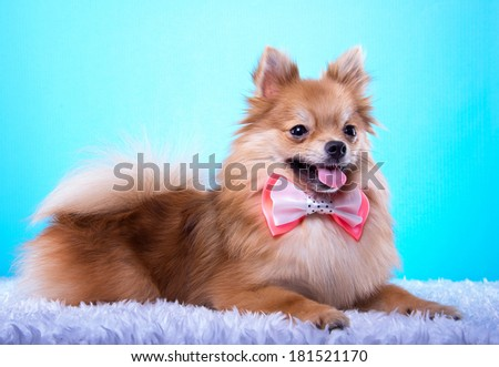 Beautiful spitz dog with bow-tie. Animal portrait. Spitz dog in stylish clothes. Blue background. Colorful decorations. Collection of funny animals