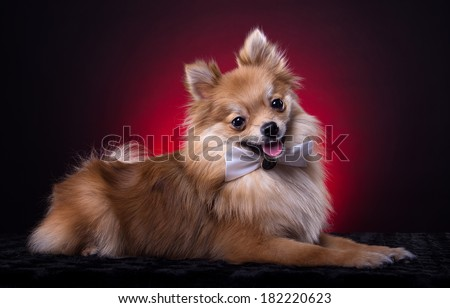 Beautiful spitz dog with bow-tie. Animal portrait. Spitz dog in stylish clothes. Red background. Colorful decorations. Collection of funny animals