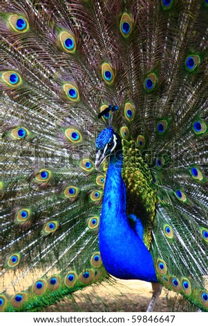 Beautiful spread of a peacock. - stock photo