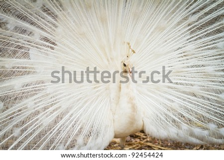Beautiful spread of a white peacock