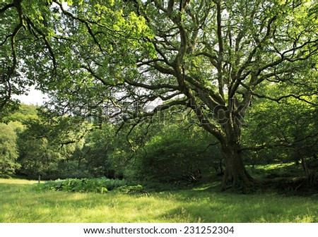 Beautiful spreading tree in Wicklow Mountains National Park. - stock photo