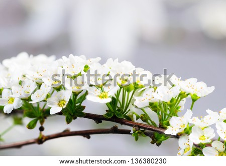 Beautiful Sprig of Spirea in the Springtime in England