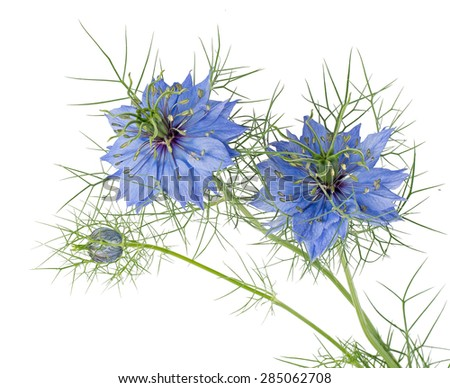 Beautiful spring annual. Love-in-a-mist isolated on white. Nigella damascena. - stock photo