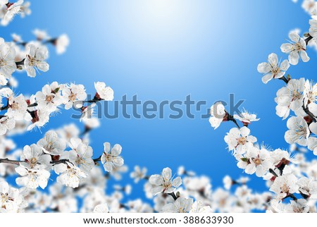 Beautiful spring background - branches of blossoming apricot, white apricot flowers, clear blue sky - stock photo