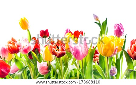 Beautiful spring background of colourful tulips in vibrant reds, yellow and pink isolated on white with copyspace - stock photo