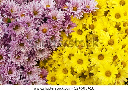 Beautiful spring background with yellow and purple chrysanthemum flowers - stock photo