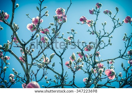 Beautiful spring bloom for magnolia tulip trees pink flowers - stock photo