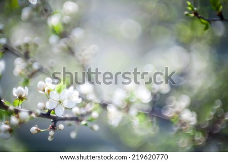 Beautiful spring blossoming plum tree, photographed with a soft focus lens, low dof - stock photo
