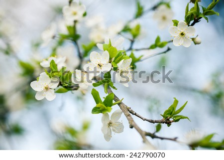Beautiful spring blossoming plum tree with low dof - stock photo