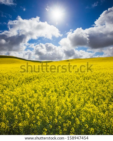 Beautiful Spring Canola Field - stock photo