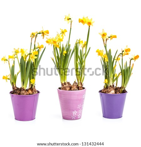 Beautiful spring daffodils flowers in pot