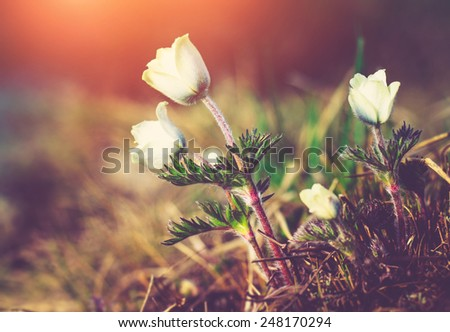 Beautiful spring flower pulsatilla in the mountains, glowing by sunlight. Filtered image:cross processed colorful  and vintage effect.  - stock photo