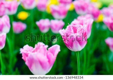 Beautiful spring flowers. Background with pink Tulips. - stock photo