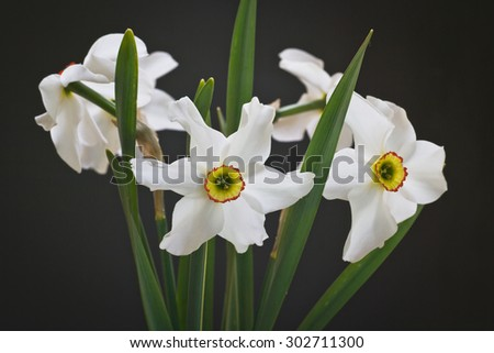 Beautiful spring flowers daffodils - stock photo