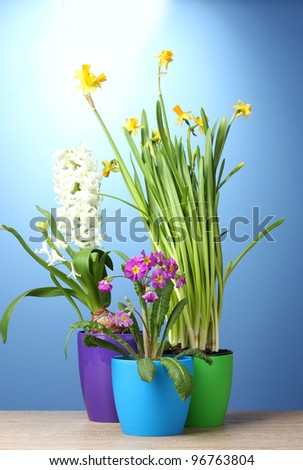 beautiful spring flowers in pots on wooden table on blue background - stock photo
