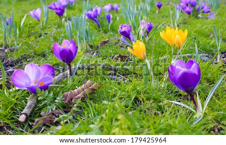 Beautiful spring flowers on green grass/Crocus flowers/Spring concept photography