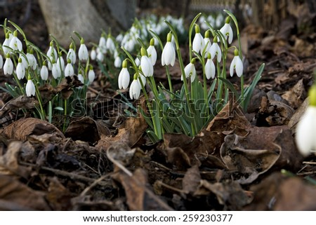 Beautiful spring flowers snowdrops, Galanthus nivalis