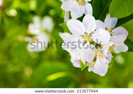 beautiful spring flowers,  white apple blossoms in garden outdor, green background - stock photo