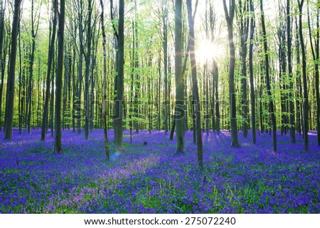 Beautiful spring forest with carpet of bluebells or wild hyacinths flowers on a sunny day, Belgium, Halle - stock photo