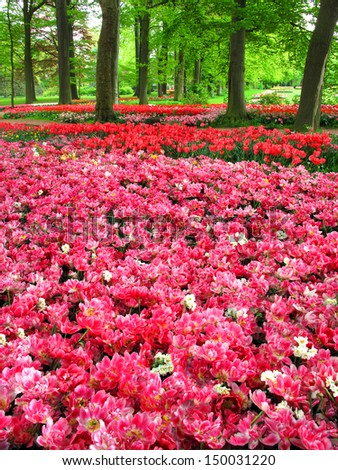 Beautiful spring garden. Field with a lot of red tulip flowers.