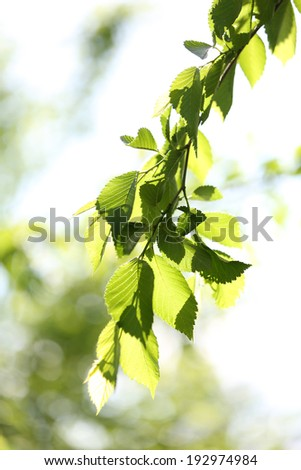 Beautiful spring leaves on tree, outdoors