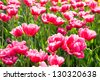 Beautiful spring purple tulips - stock photo