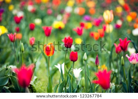Beautiful spring tulip flowers in colorful garden - stock photo
