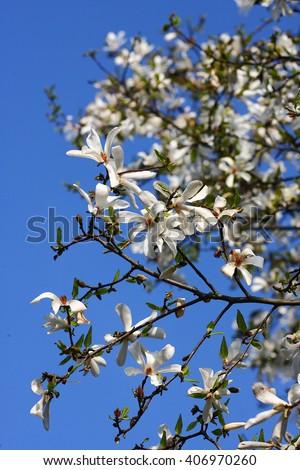 Beautiful spring white flower on tree. - stock photo