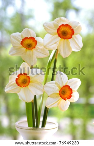 Beautiful springtime narcissus - stock photo