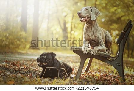 beautiful staffordshire bull terrier dog and weimaraner  puppy in autumn nature - stock photo