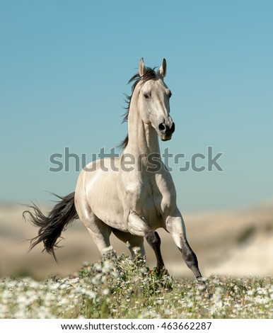 beautiful stallion is running in flower field