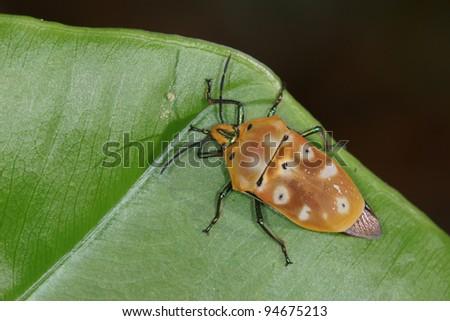 beautiful stinkbug - stock photo