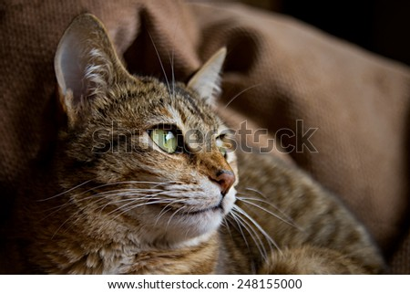Beautiful striped brown cat. Shallow depth of field. - stock photo